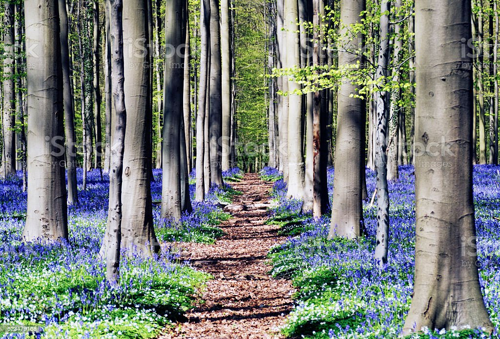 Blooming bluebells in springtime in the famous Hallerbos,Belgium stock photo