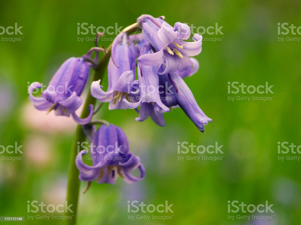 Blooming Bluebells stock photo