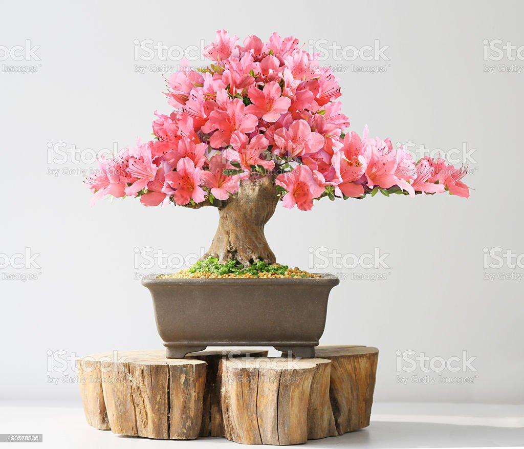 blooming bonsai azalea stock photo