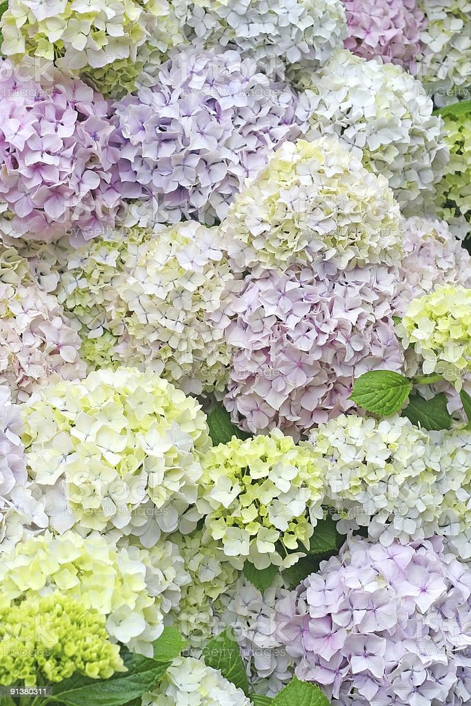 Blooming bouquets of Hortensia flowers stock photo