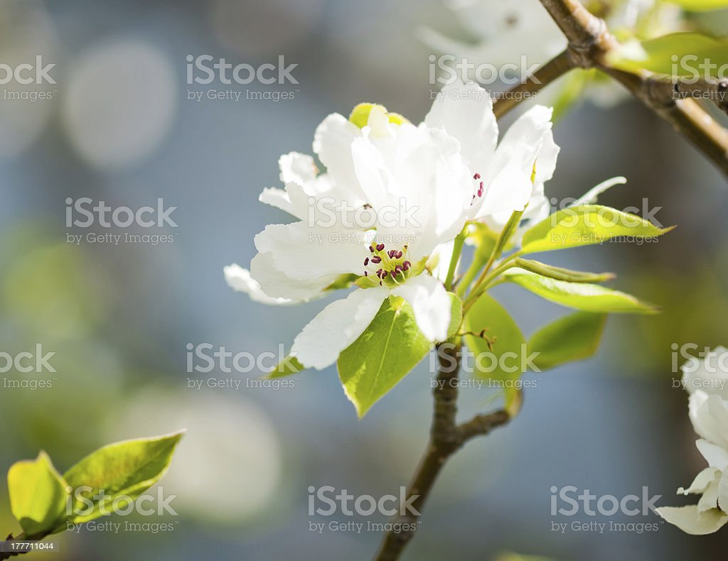 blooming branch of apple tree royalty-free stock photo