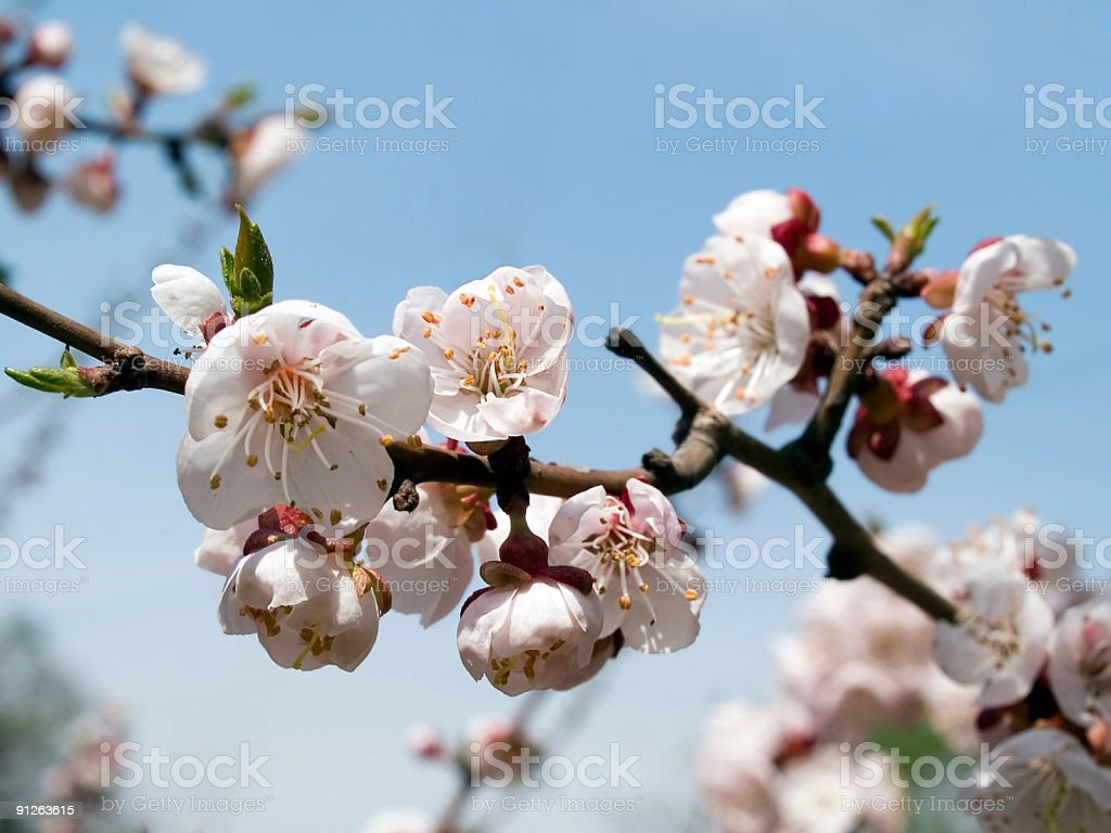 blooming branch of cherry royalty-free stock photo