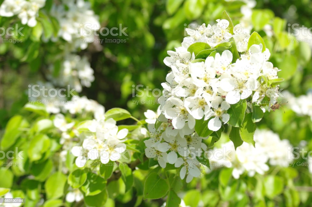 Blooming branch of pear tree in spring stock photo