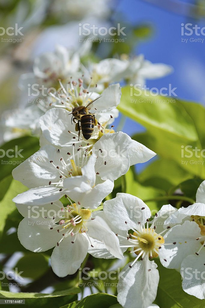 Blooming branch of pear tree in spring with bee royalty-free stock photo