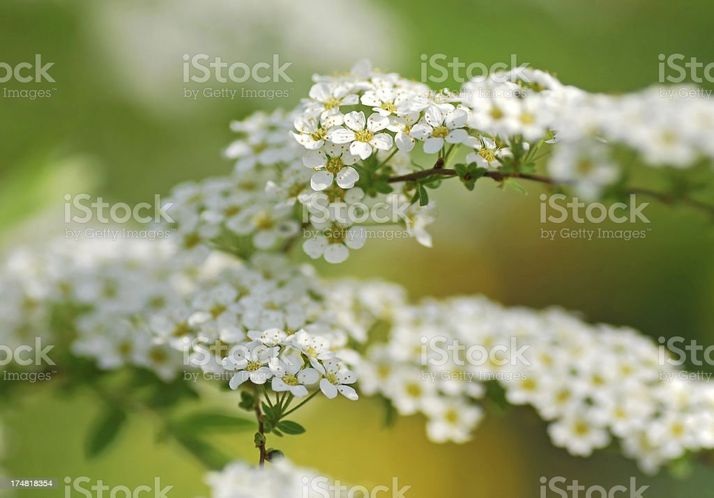 Blooming branche with white hawthorn blossom stock photo