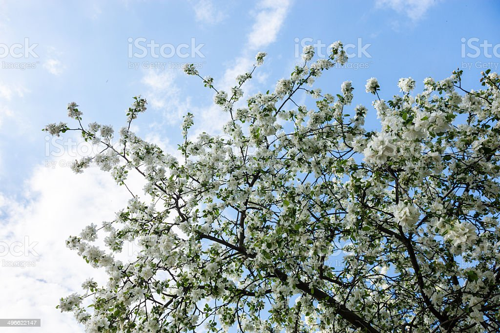 Blooming branches of the apple tree against the blue sky royalty-free stock photo
