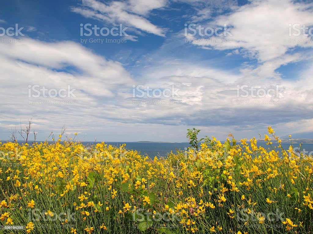 Blooming broom bushes stock photo