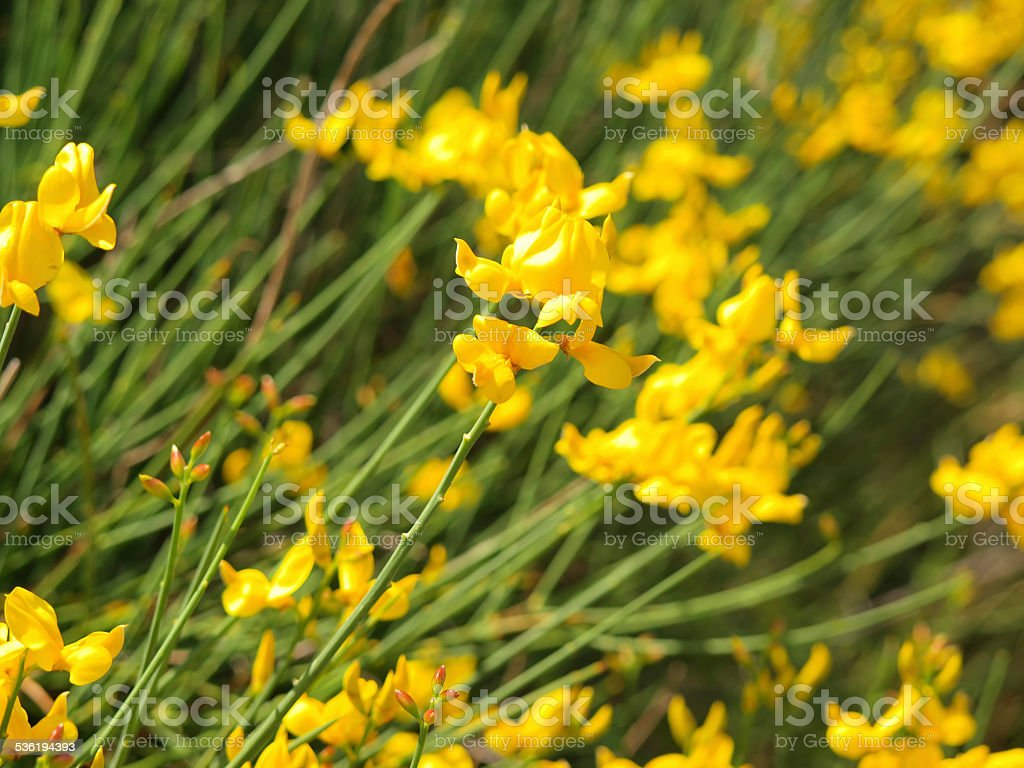 Blooming broom stock photo