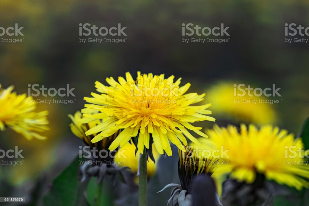 Blooming bud of a dandelion on blurred background spring flower meadows. Limited depth of field. stock photo
