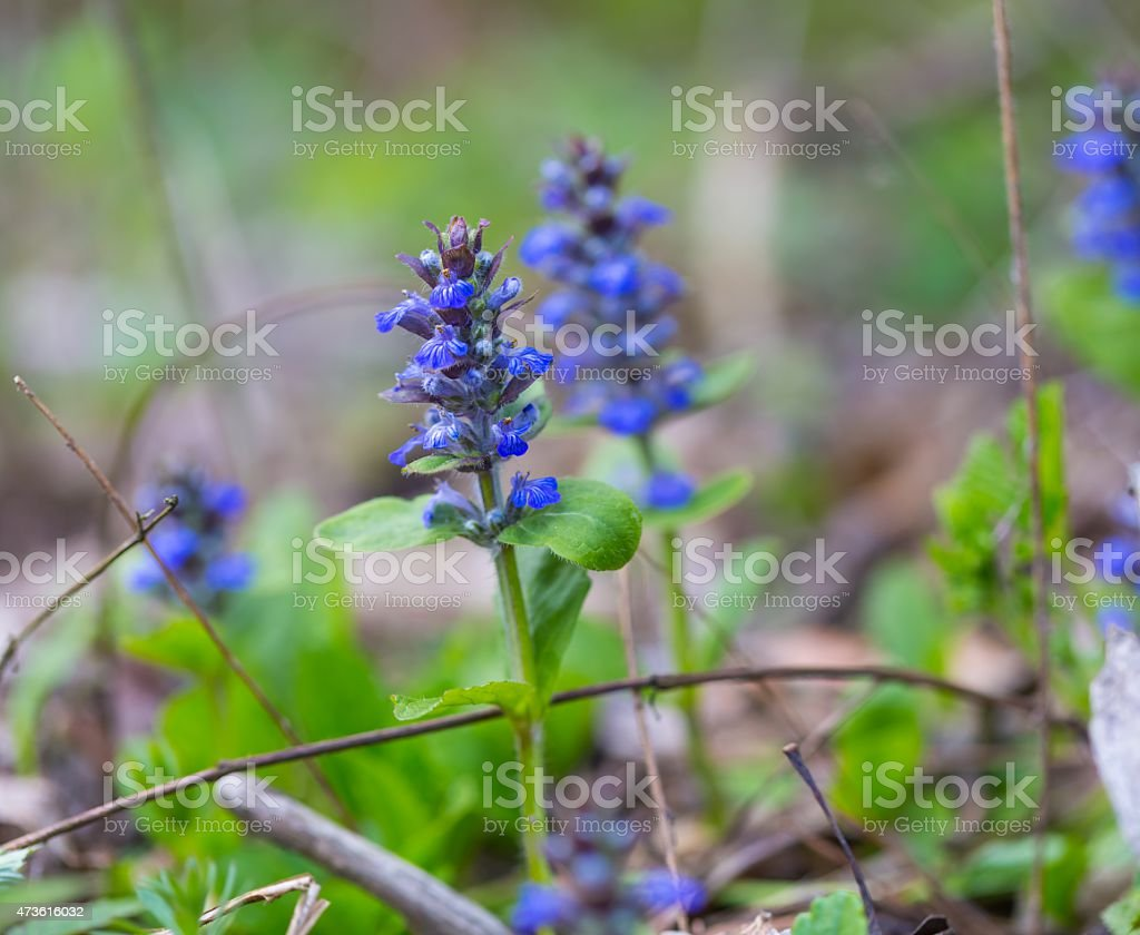 Blooming bugle plant stock photo