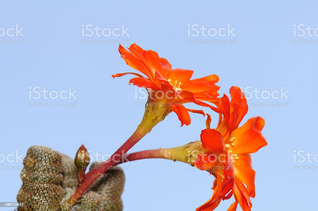 Blooming cactus against blue sky. royalty-free stock photo