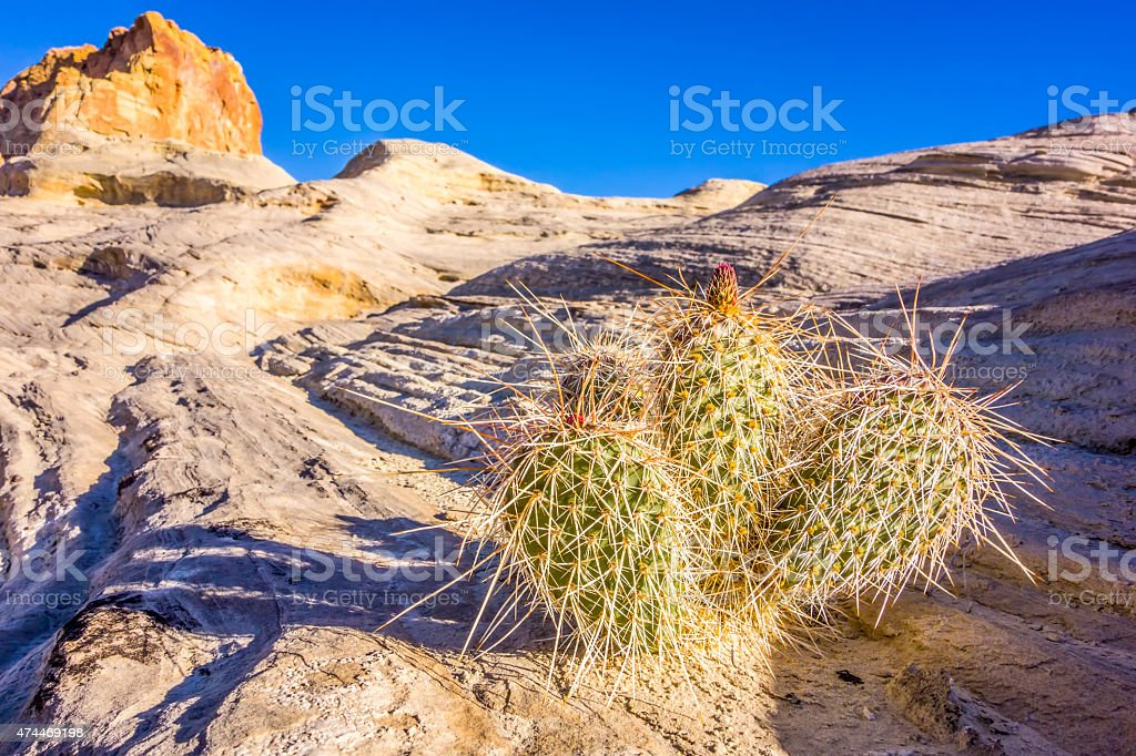 blooming cactus in arizona desert stock photo