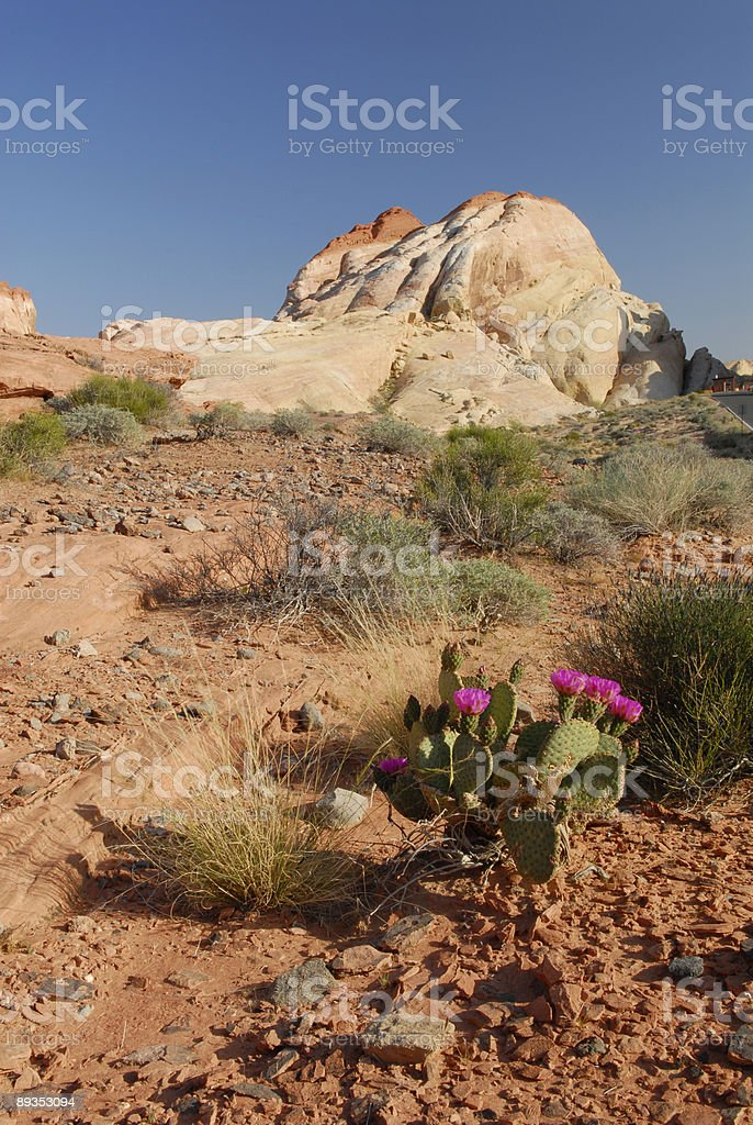 Blooming cactus in Valley of Fire, Nevada royalty-free stock photo