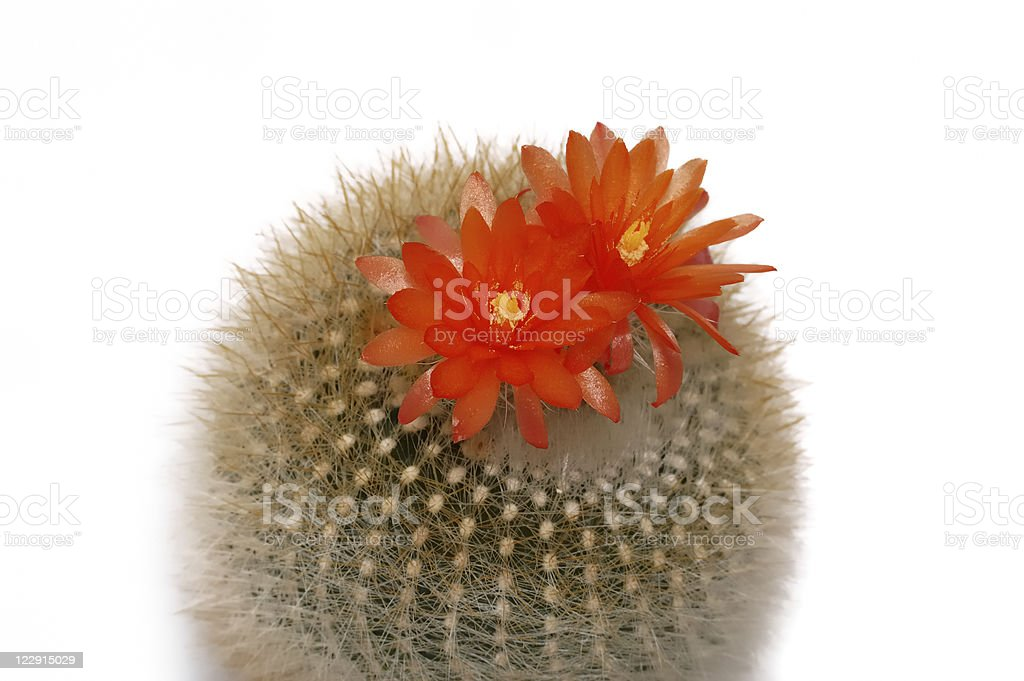 Blooming cactus isolated on white. stock photo