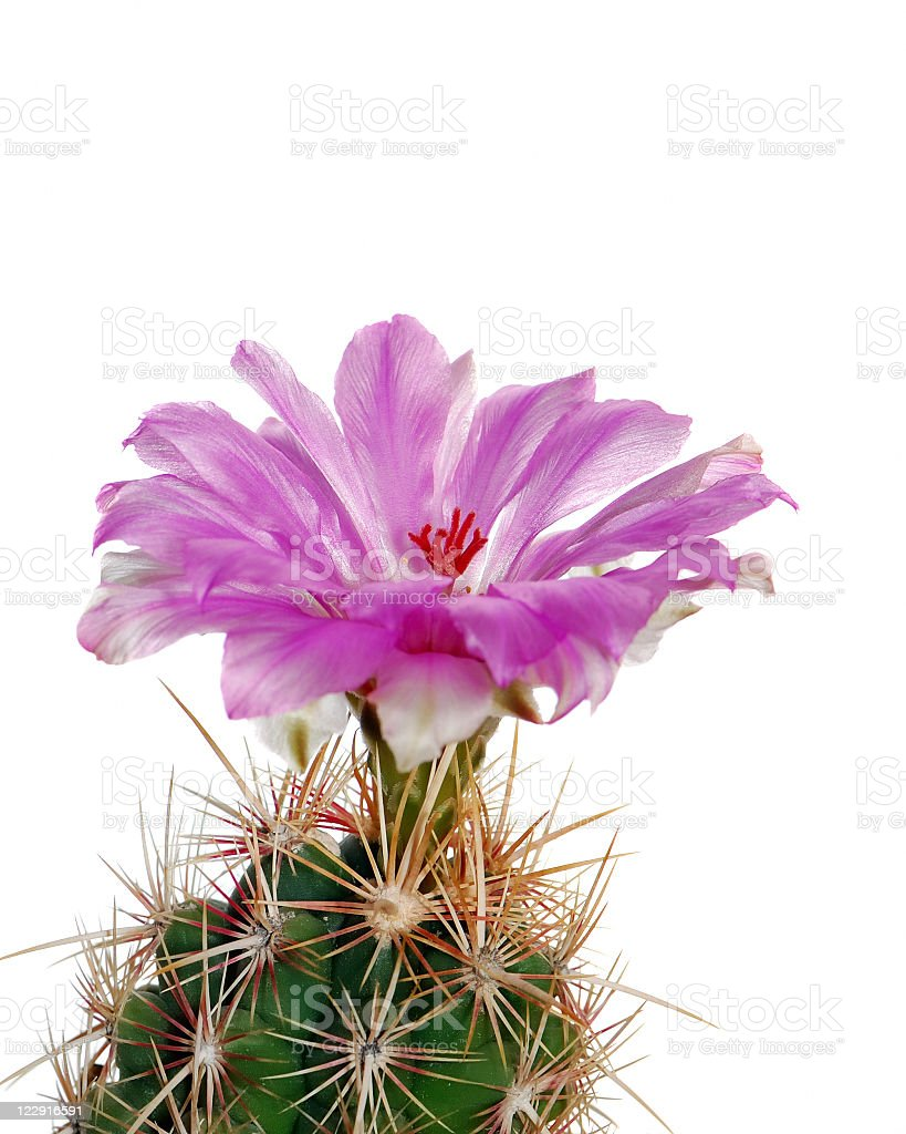 Blooming cactus on a white background. stock photo