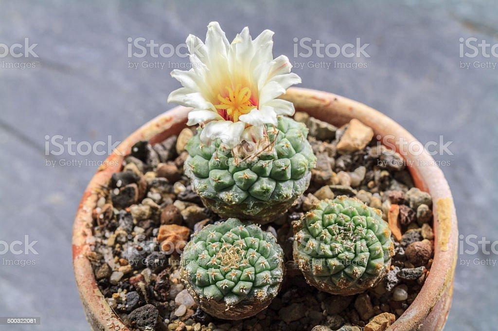 Blooming Cactus Lizenzfreies stock-foto