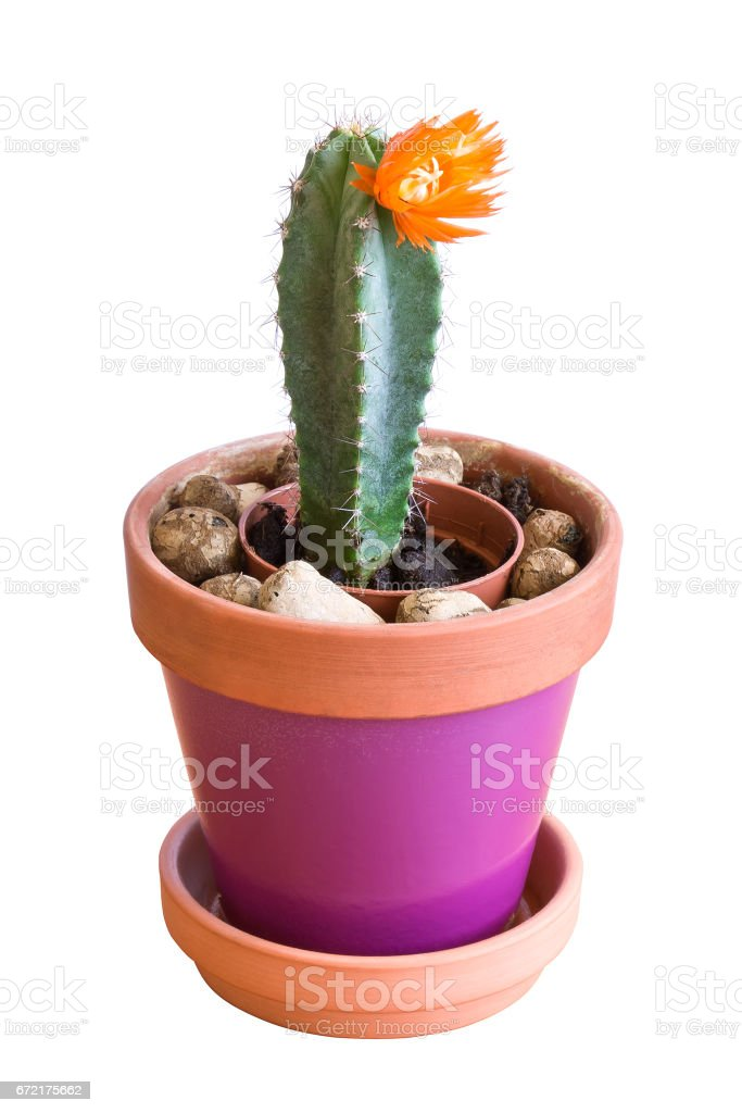 Blooming cactus plant in a flowerpot on white stock photo