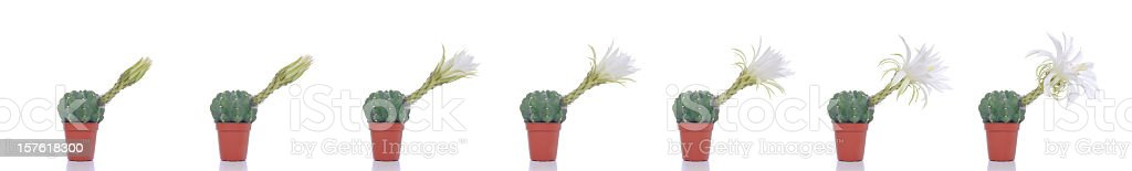 Blooming Cactus Timelapse royalty-free stock photo