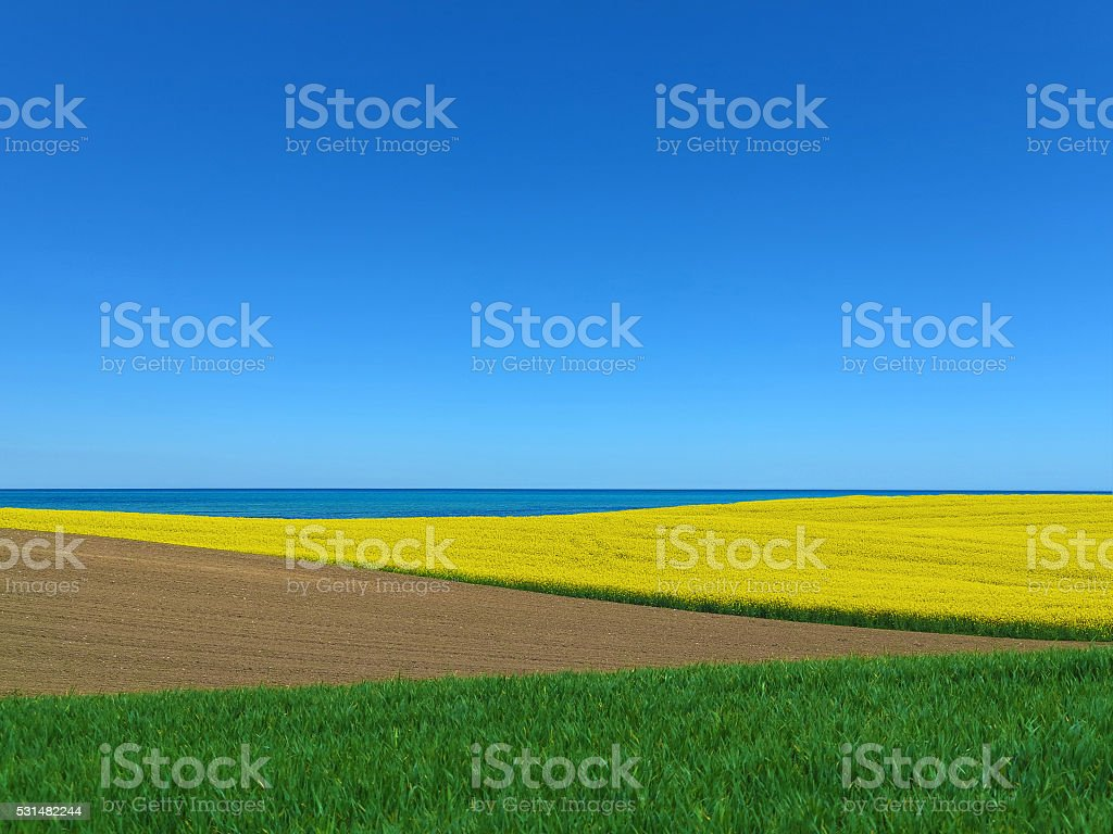 blooming canola field by the sea stock photo
