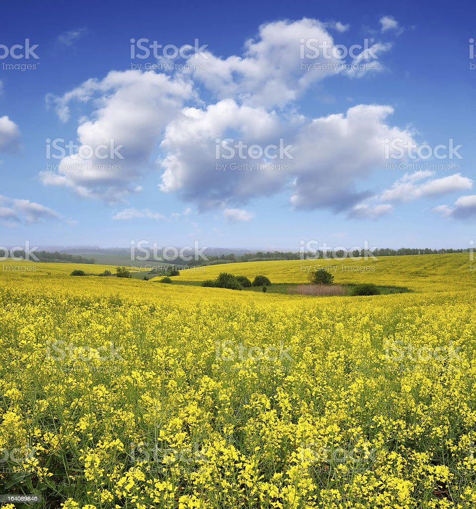 Blooming canola field royalty-free stock photo