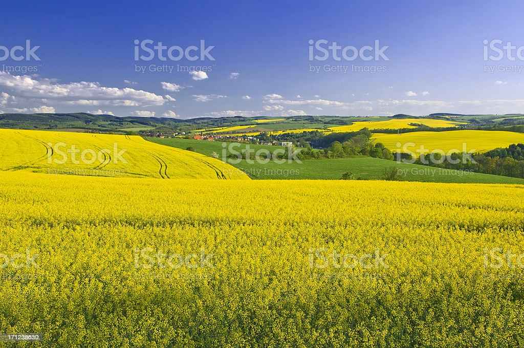 Blooming canola fields in spring stock photo