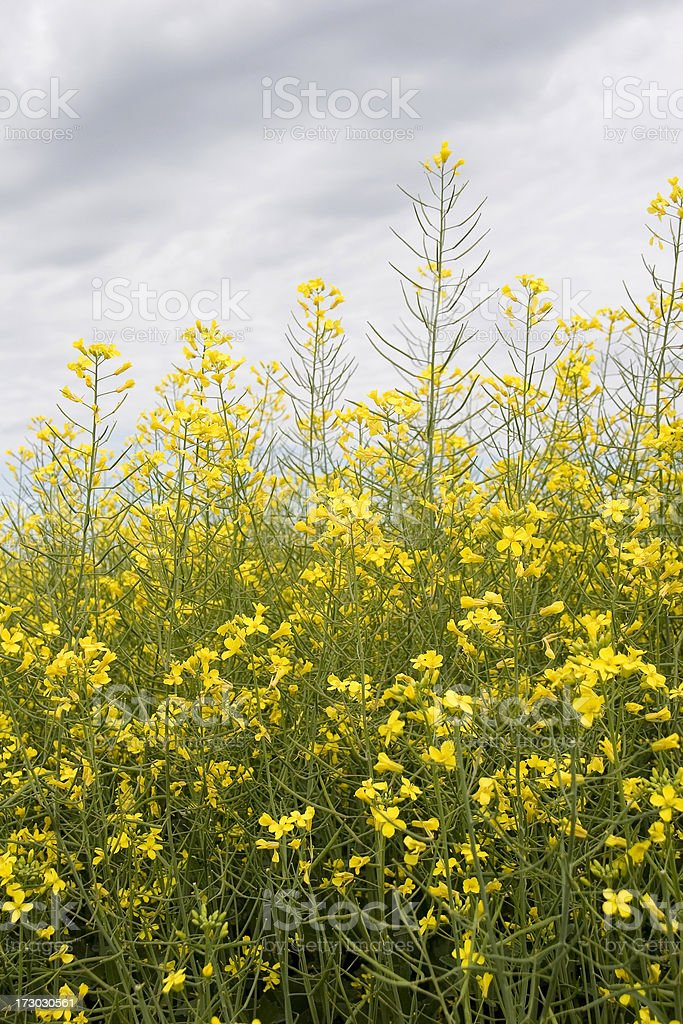 Blooming Canola stock photo