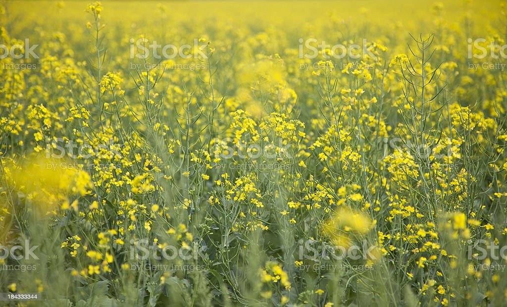 blooming canola royalty-free stock photo