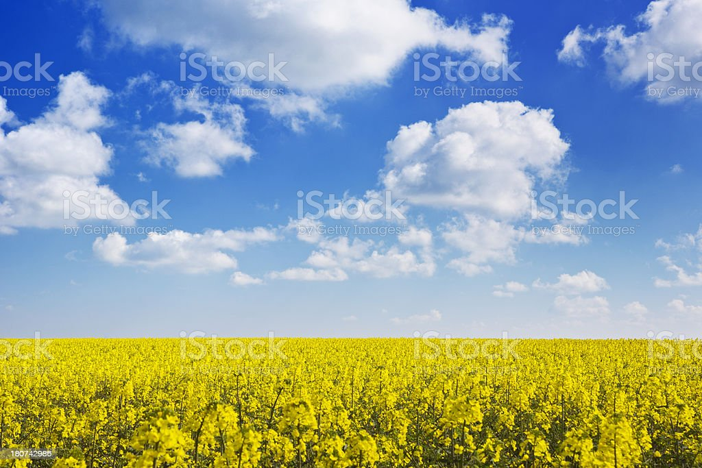 Blooming canola under a blue sky with clouds royalty-free stock photo