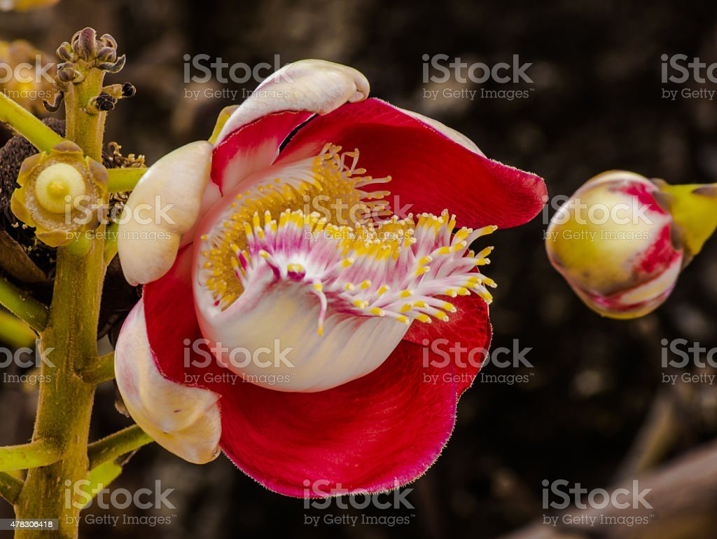 Blooming Canonball. stock photo