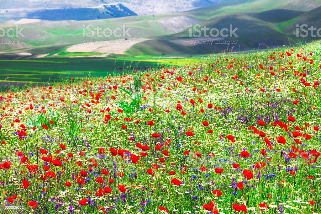 blooming Castelluccio di Norcia -famous plateau in monti Sibillini, Italy stock photo