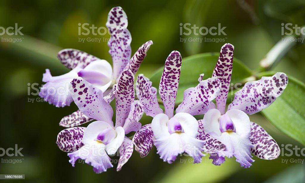 Blooming Cattleya stock photo