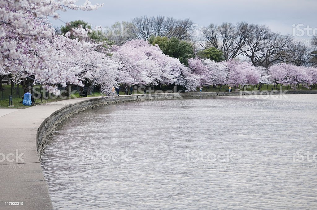 Blooming Cherry Blossom's stock photo