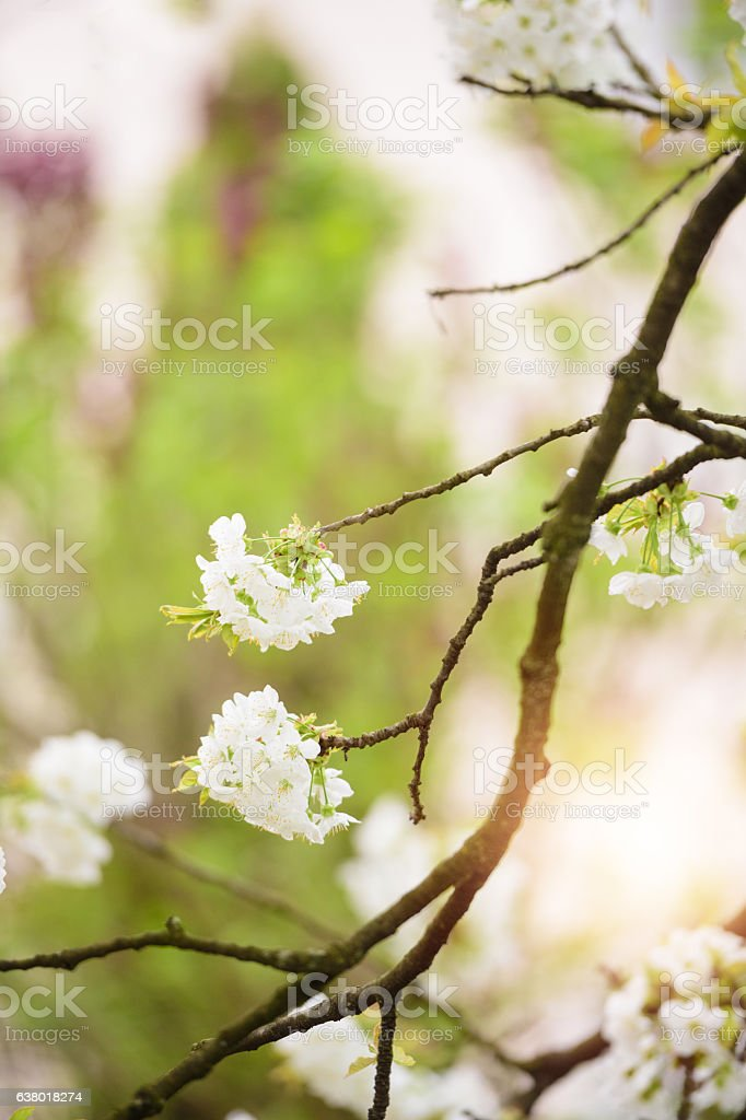 Blooming Cherry Branches stock photo