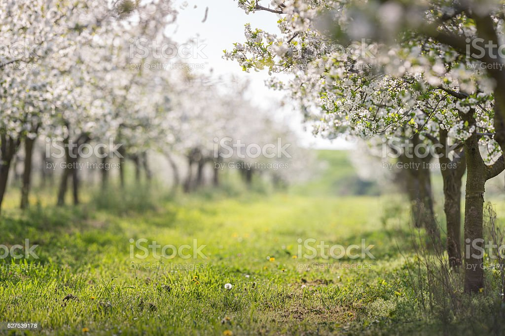 blooming cherry orchard stock photo