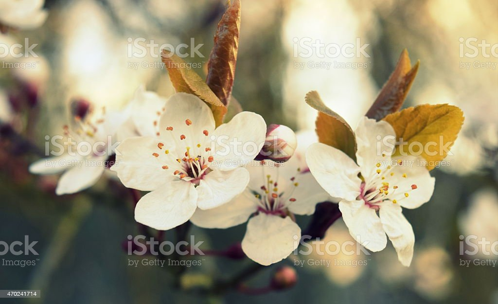 Blooming Cherry royalty-free stock photo