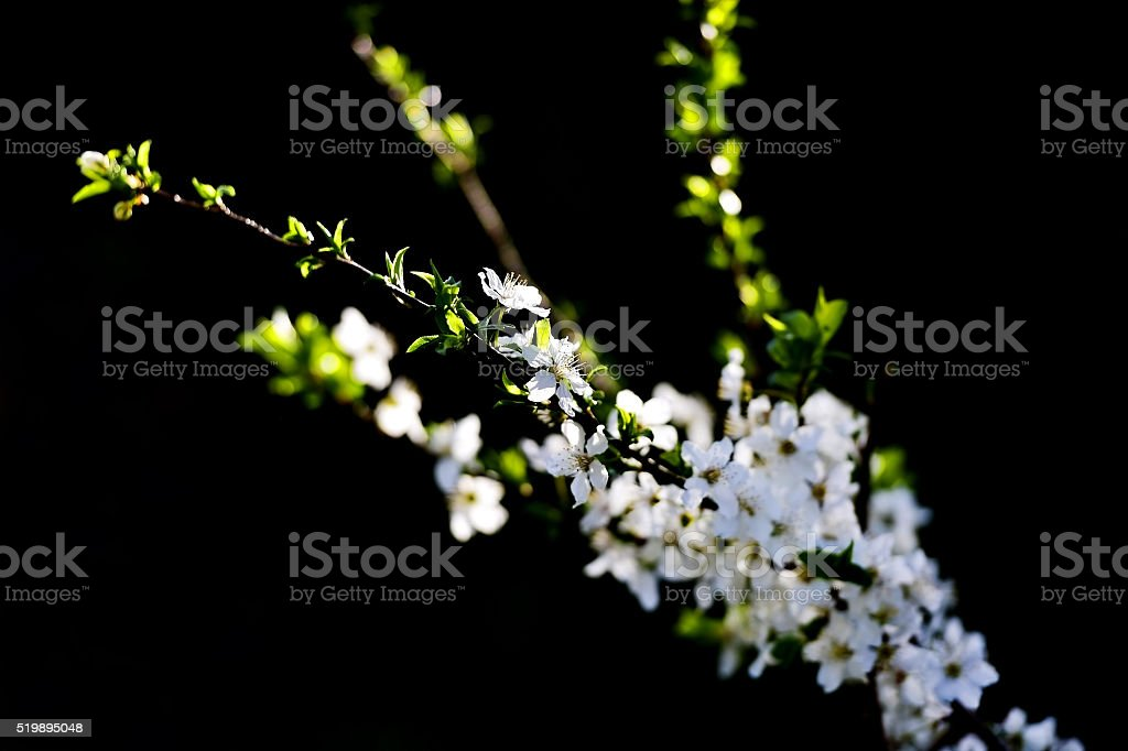 Blooming cherry tree in early springtime stock photo