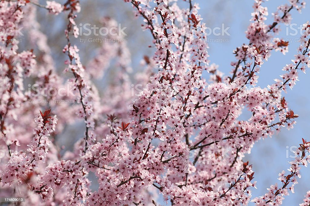 blooming cherry tree in spring royalty-free stock photo
