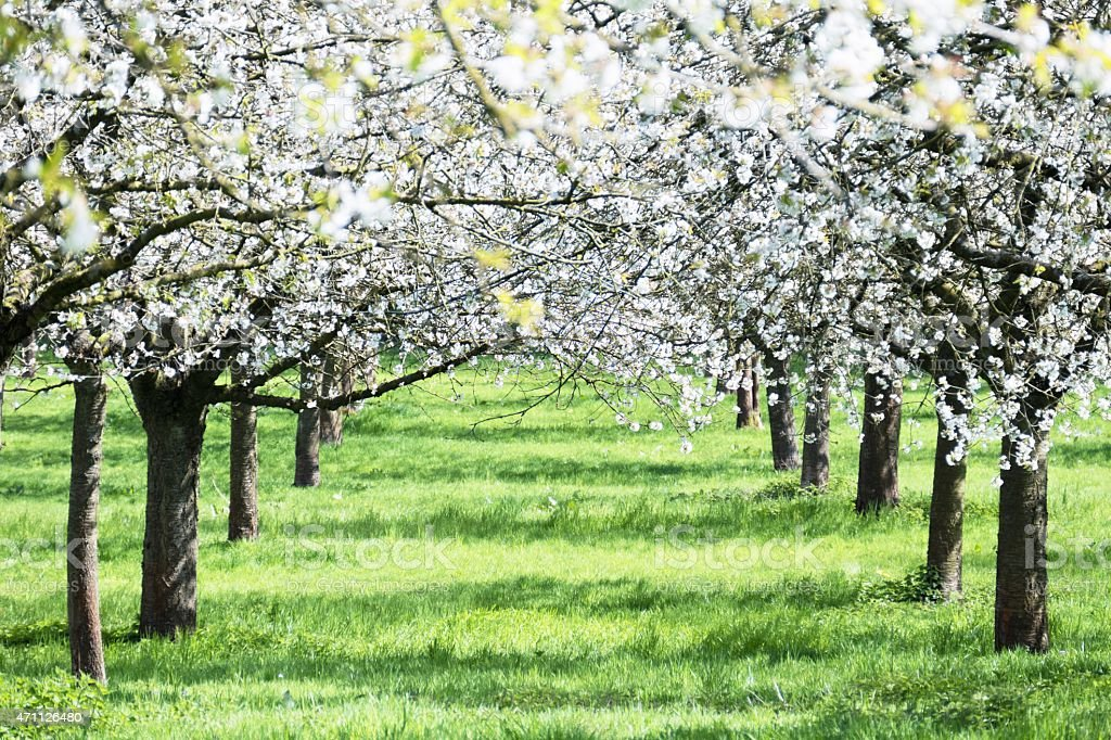 Blooming  cherry tree orchard in springtime stock photo