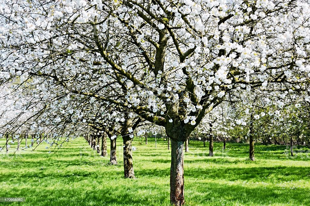 Blooming cherry tree orchard stock photo