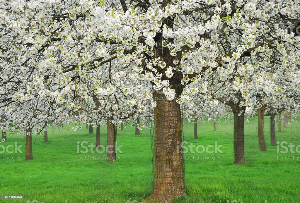 Blooming cherry trees in Haspengouw,Flanders,Belgium stock photo