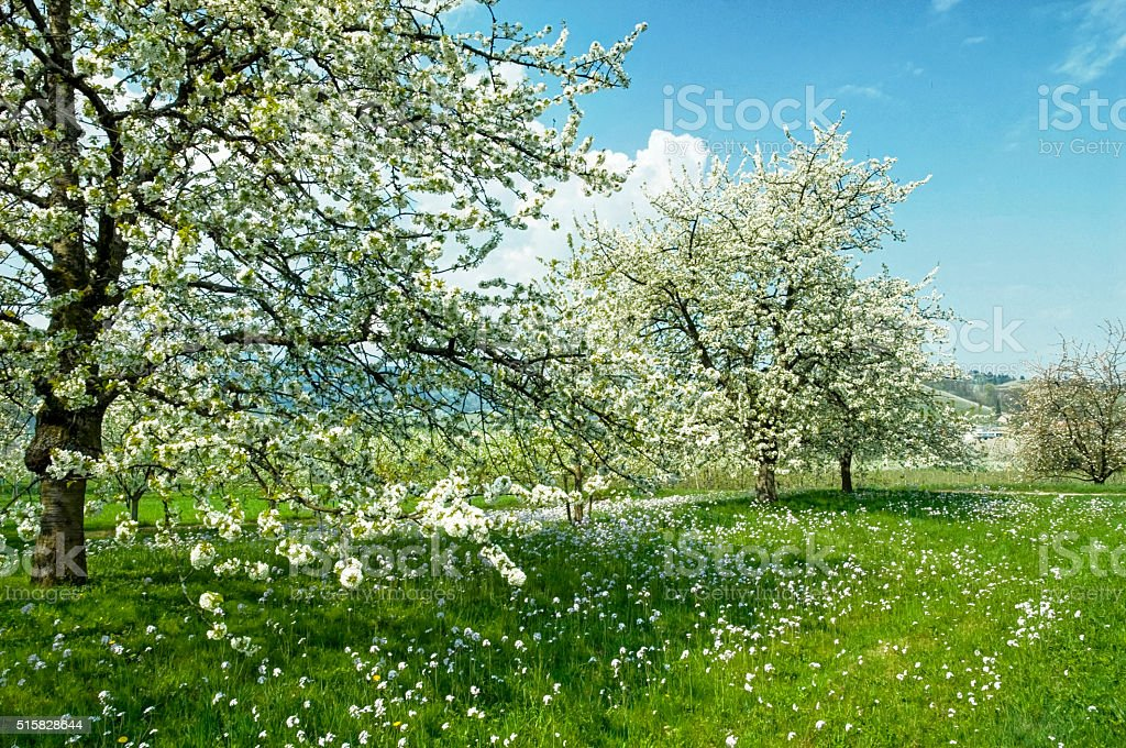 blooming cherry trees on a green meadow stock photo