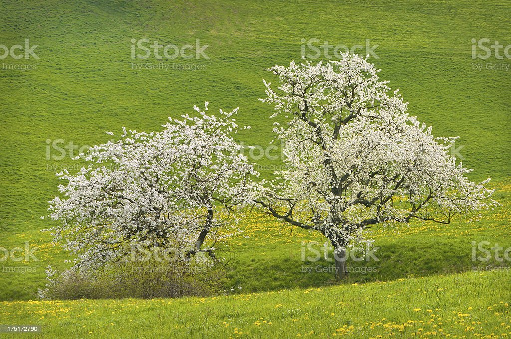 blooming cherry trees royalty-free stock photo