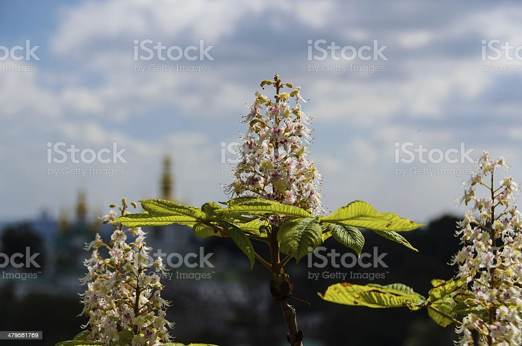 Blooming chestnuts stock photo