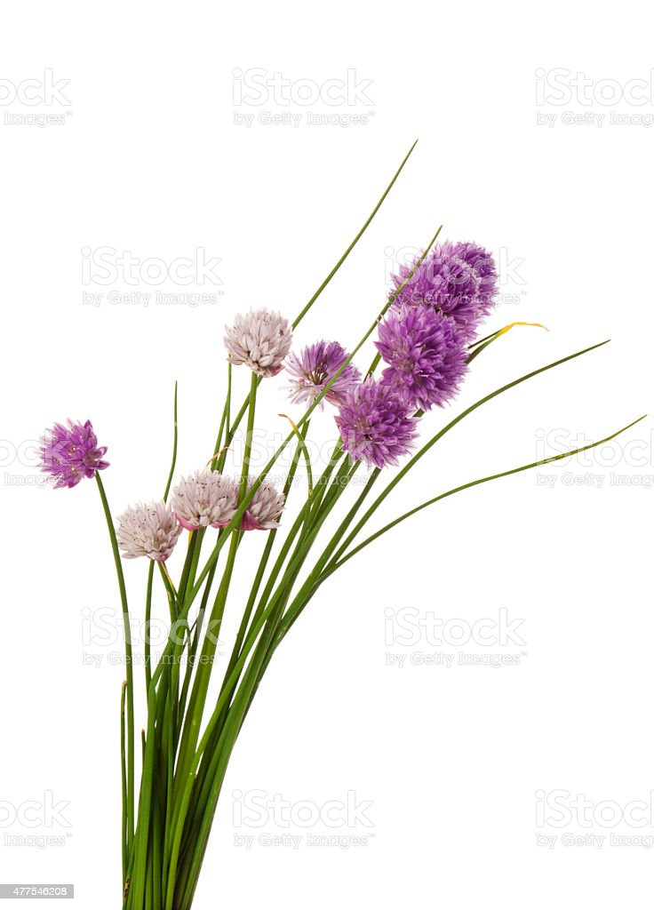 Blooming chives isolated stock photo