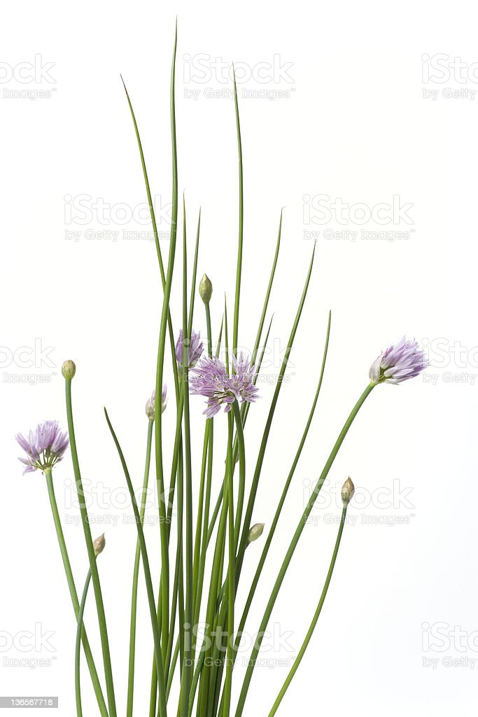 Blooming chives on white background stock photo