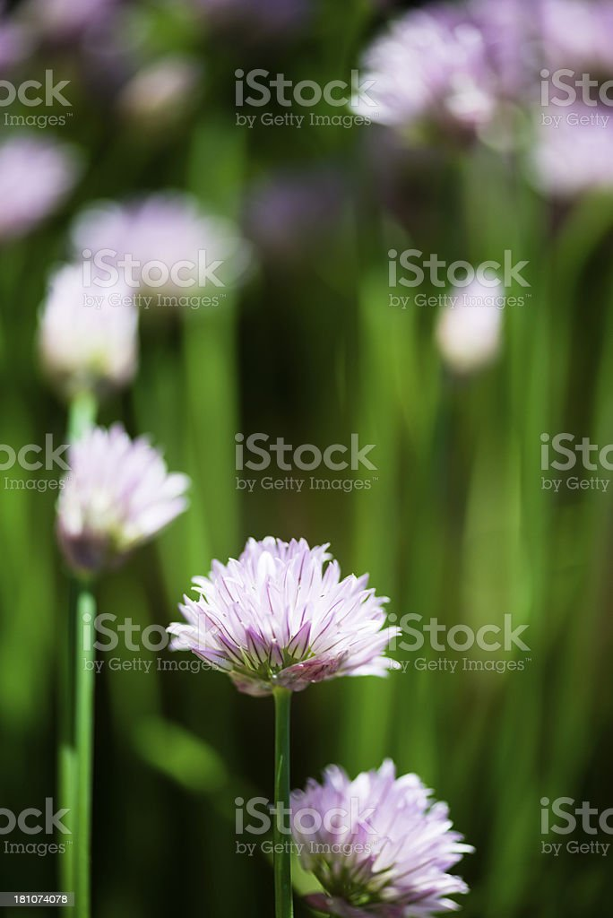 Blooming Chives royalty-free stock photo