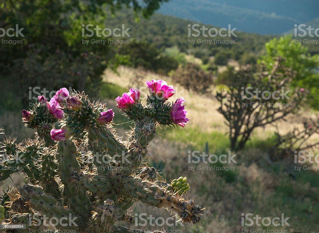 Blooming Cholla Cactus stock photo