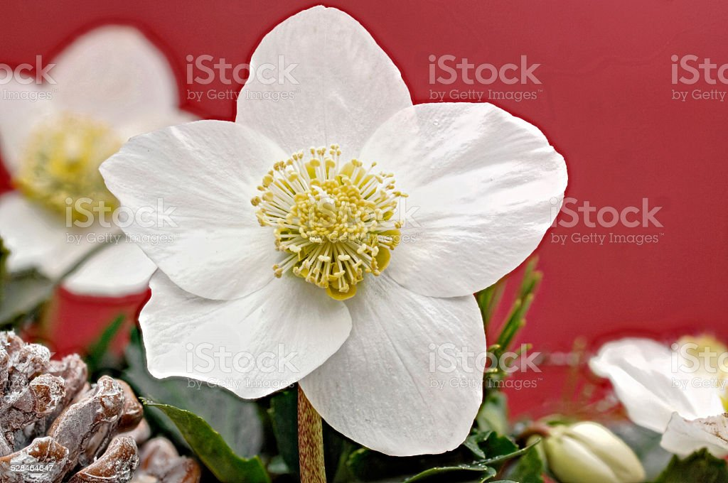 blooming Christmas Rose stock photo