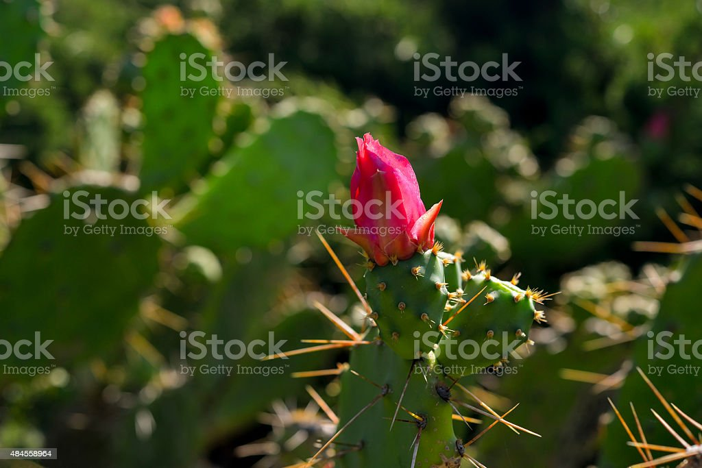 Blooming claret cup cactus blossoms in nature stock photo