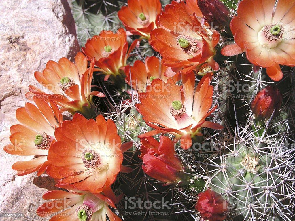Blooming claret cup hedgehog cactus stock photo